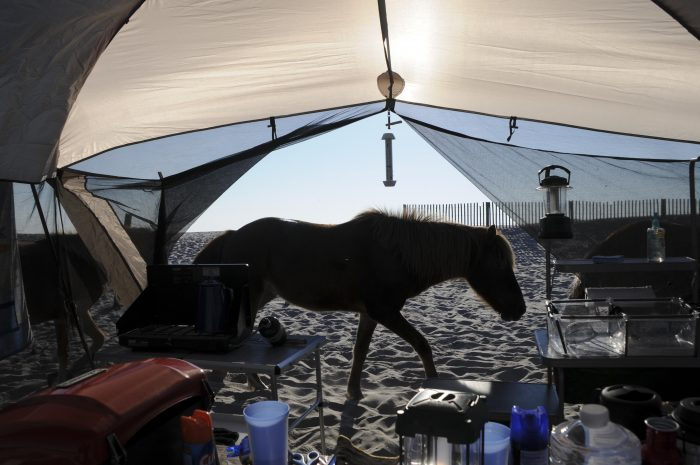 Assateague Horses at my campsite ©Kathy Passmore