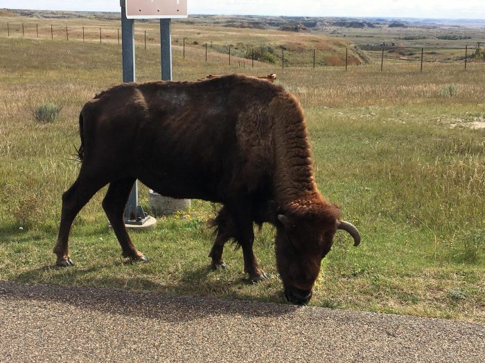 Bison, Painted Desert Visitor Center, Theodore Roosevelt National Park