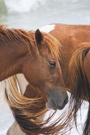 Assateague Island Horse, Maryland