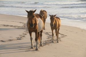 Assateague Island Horses, Maryland