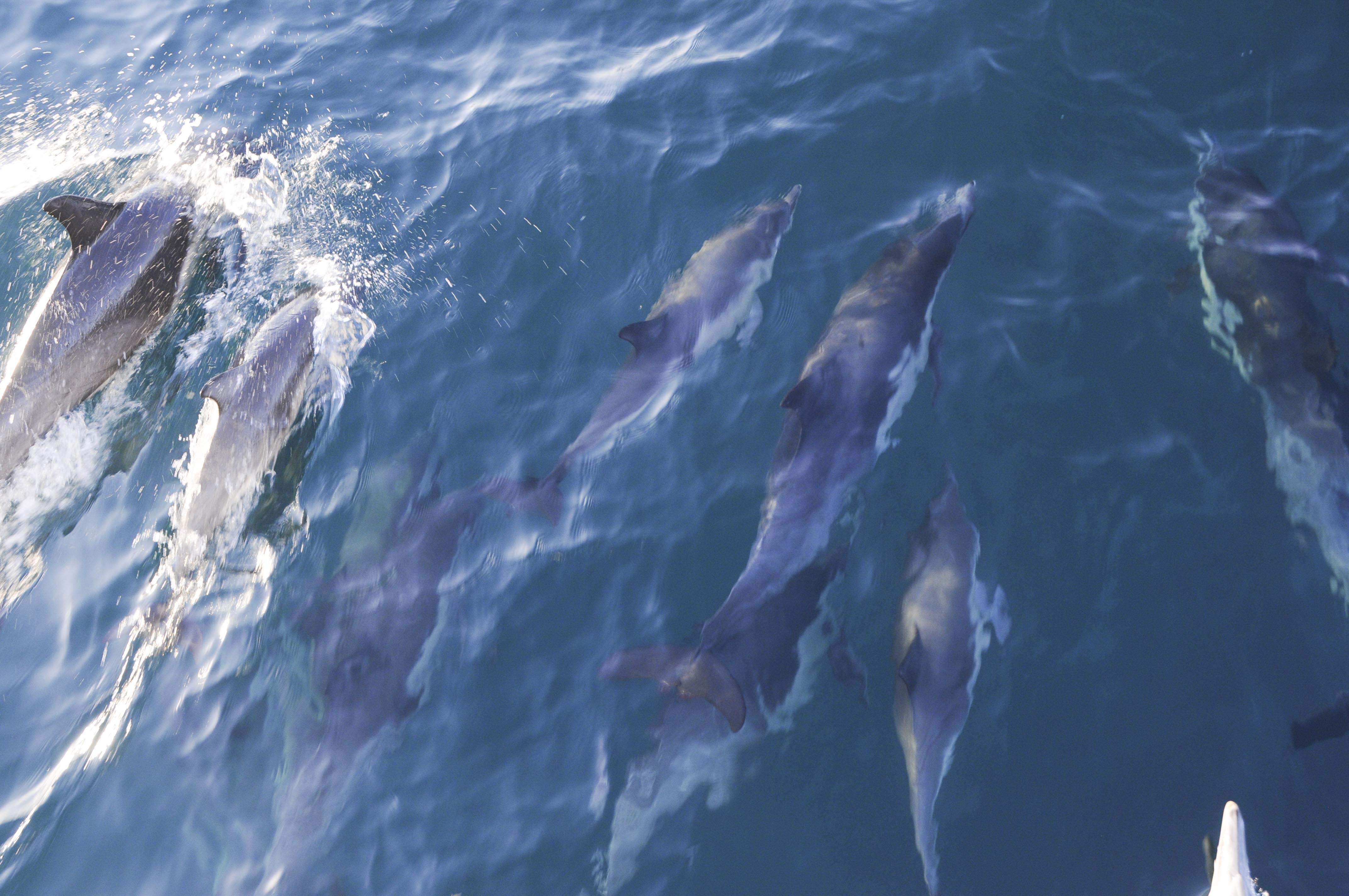 Common Dolphin, Channel Islands, California