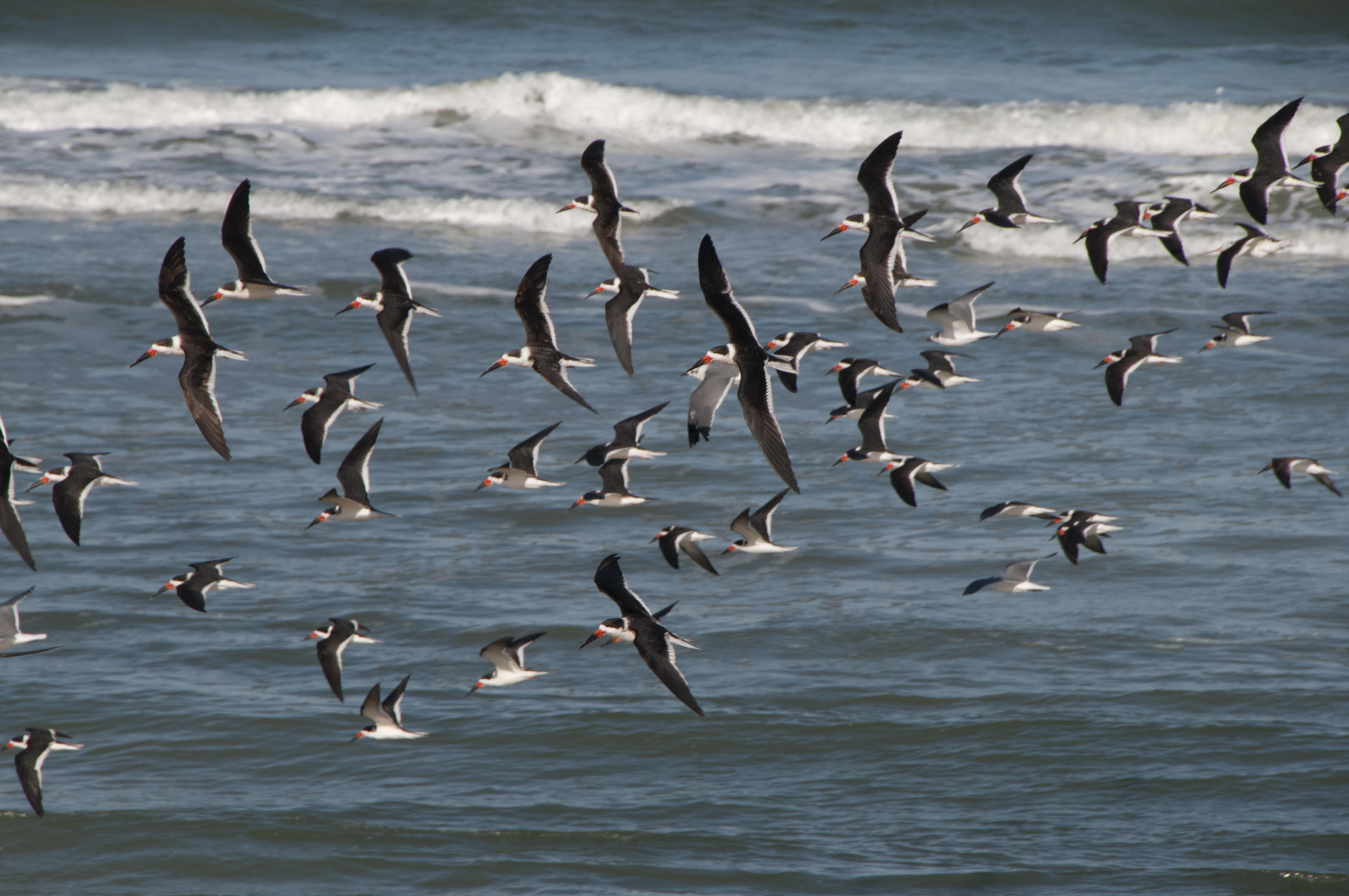 Royal Terns, Beverly Beach, Florida