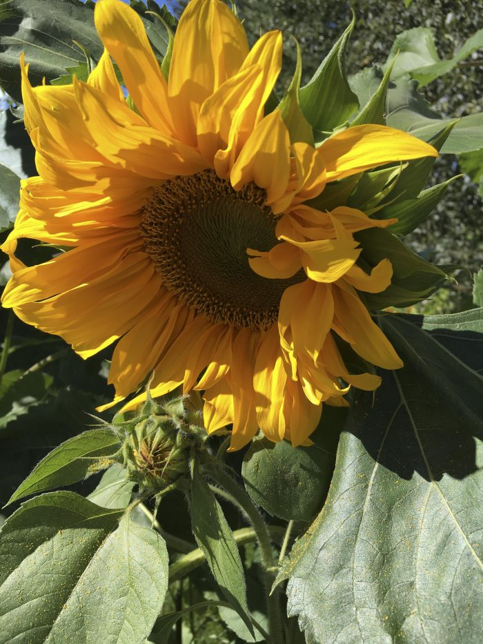 Sunflower, Fairbanks, Alaska