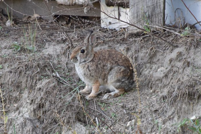 Bunny Rabbit in Campsite, Medora, ND