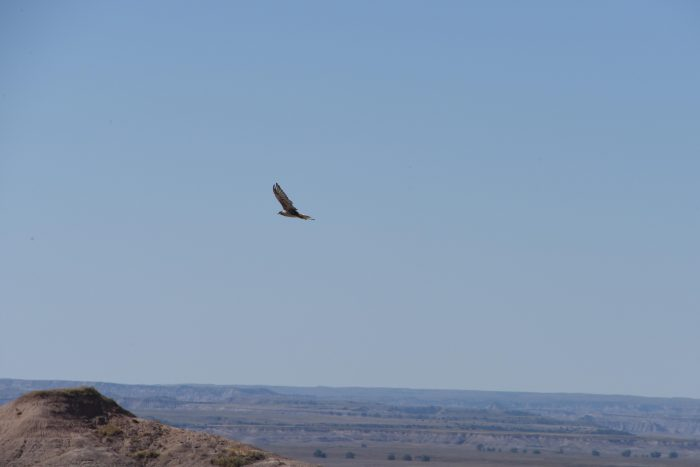 Hawk, Badlands National Park